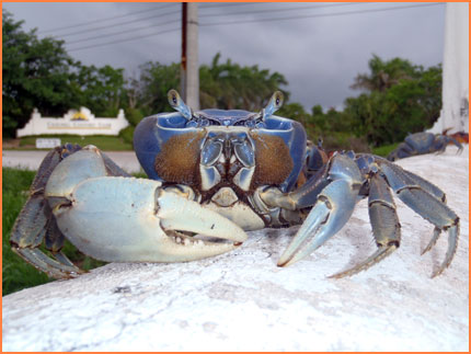 Cozumel blue land crab