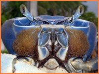 Cozumel crab