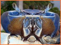 Cozumel crab