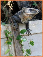 Cozumel iguanas