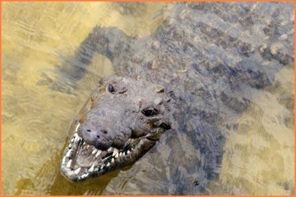 Cozumel Crocodiles
