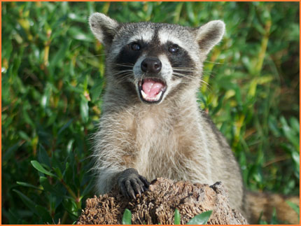 Cozumel raccoons