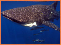 Cozumel whale shark