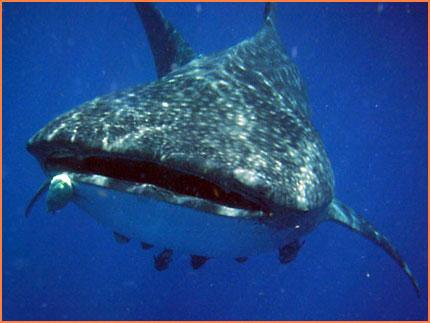 Isla Mujeres whaleshark tour
