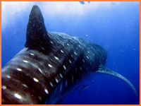 Cozumel whale shark tours