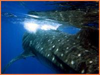 Whalesharks Cozumel