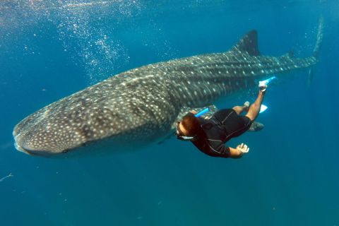 Cozumel Whale Shark Tours This Is Cozumel
